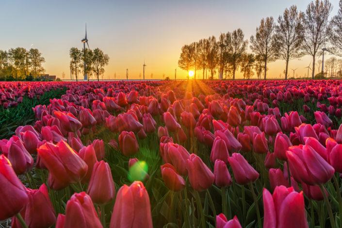 tullips lemmer netherland sunset